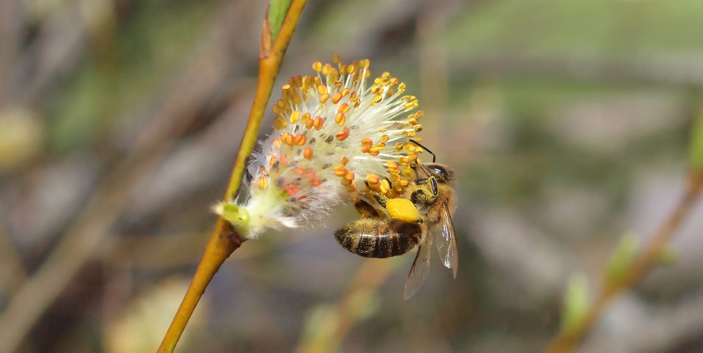 Mehiläinen hedepajulla.
