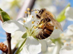 Mehiläinen kriikunalla.